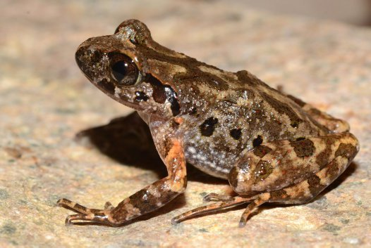 Pu Hoat Leaf-litter Frog (Leptolalax puhoatensis), Vietnam.