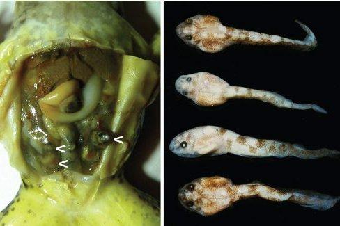 Limnonectes larvaepartus Museum specimen