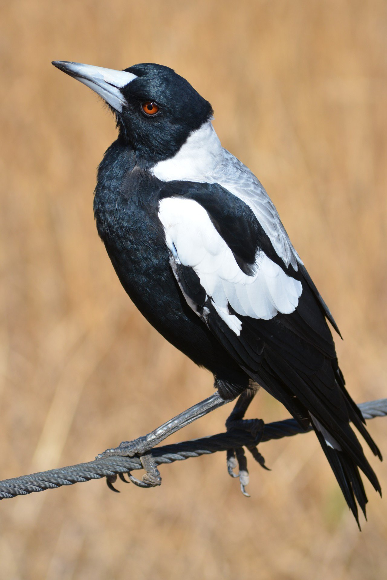 Magpie - Sitting on fence
