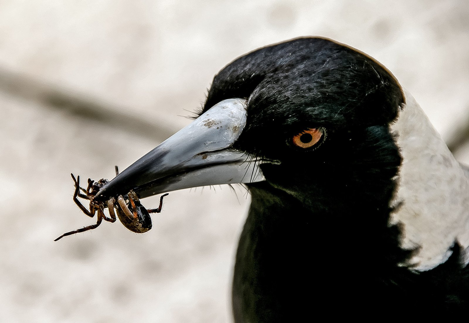Australian Magpie - With spider in mouth