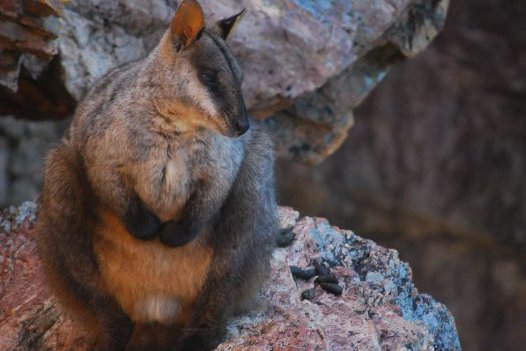 Male brush-tailed rock-wallaby (Petrogale penicillata) at rest