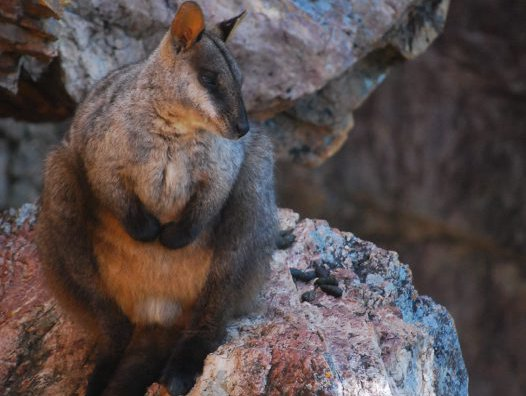 Male brush-tailed rock-wallaby <i>Petrogale penicillata</i>