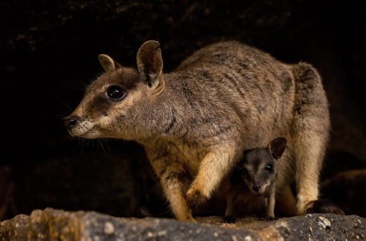 Adult female Mareeba rock-wallaby (Petrogale mareeba) and pouch young.