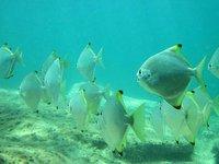 Diamondfish, Monodactylus argenteus