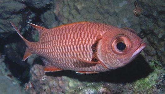 Bigscale Soldierfish