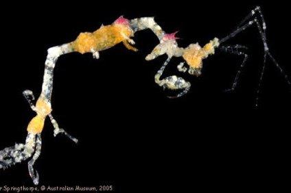 Metaprotella sp., a caprellid from Yonge Reef, Queensland.