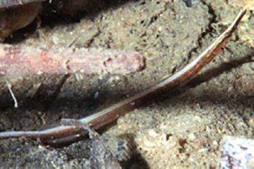 Sawtooth Pipefish, Maroubra perserrata