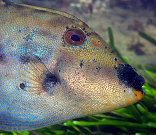 Rough Leatherjacket with a fungal type of growth