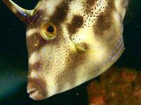 Yellowfin Leatherjacket, Meuschenia trachylepis