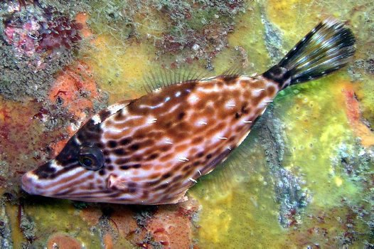 Stars-and-stripes Leatherjacket, Meuschenia venusta
