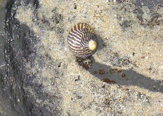Zebra snail on a rock platform