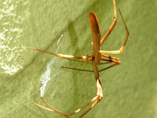 Female Net-casting Spider