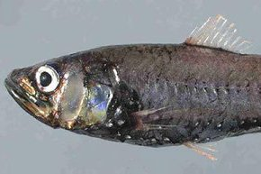 Largescale Neoscopelid, <i>Neoscopelus macrolepidotus</i>