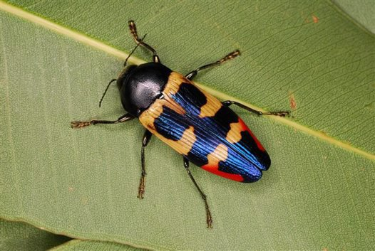 Jewel Beetle, Temognatha maculiventris (female)