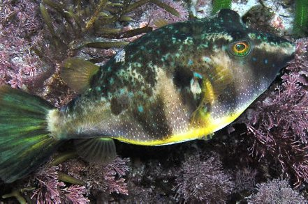 Bluespotted Pufferfish, Omegophora cyanopunctata