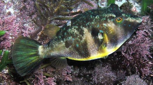 Bluespotted Pufferfish, Omegophora cyanopunctata