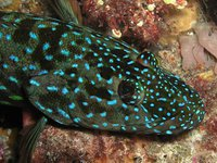 Harlequin Fish, Othos dentex
