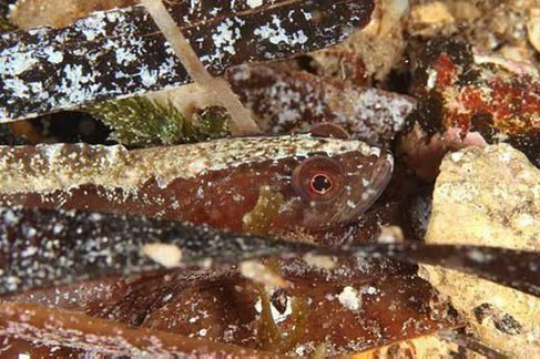 Variable Snake Blenny, Ophiclinus ningulus