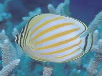 Ornate Butterflyfish, <i>Chaetodon ornatissimus</i>