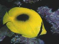 Ovalspot Butterflyfish
