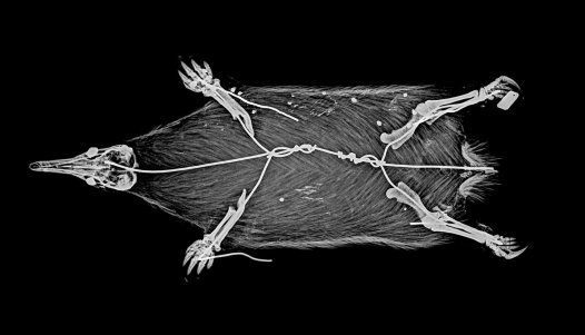 X-ray of Echidna corealis holotype