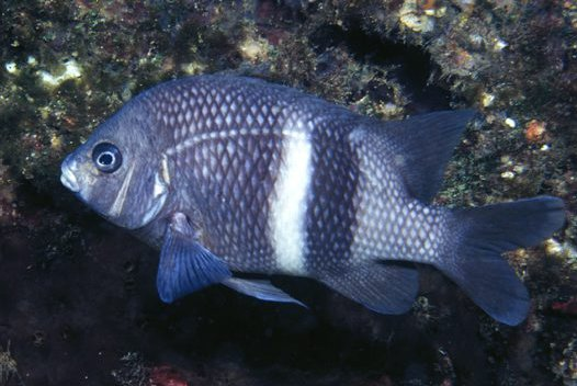 Girdled Scalyfin, Parma unifasciata