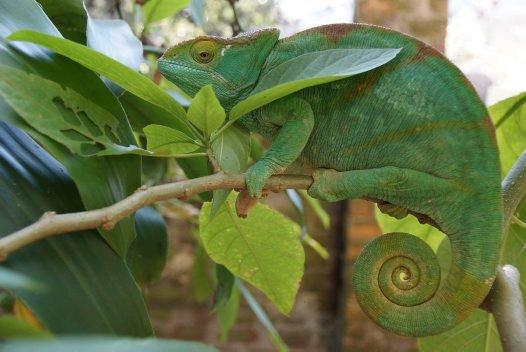Madagascar 2012 - Parson's chameleon