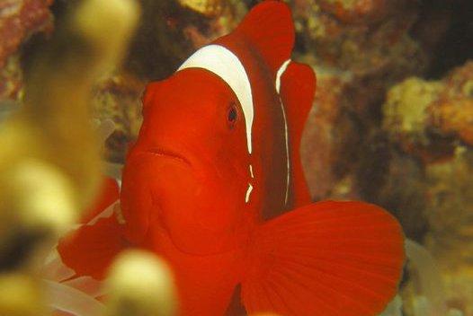Spine-cheek Clownfish