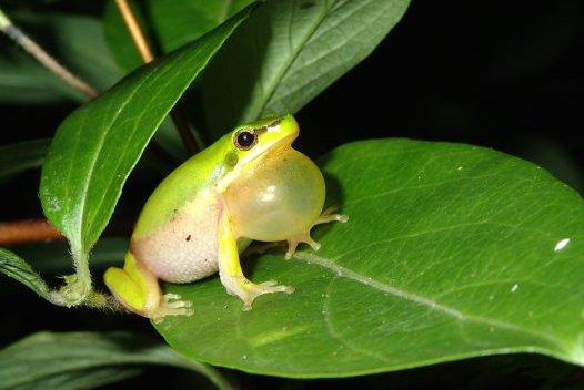 Calling male Eastern Dwarf Tree Frog