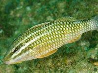 Diamondscale Goatfish, Parupeneus ciliatus