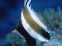 Pennant Bannerfish, <i>Heniochus chrysostomus</i>