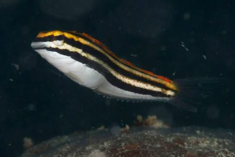 Yellow Sabretooth Blenny