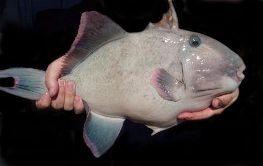 Yellowspotted Triggerfish, Pseudobalistes fuscus