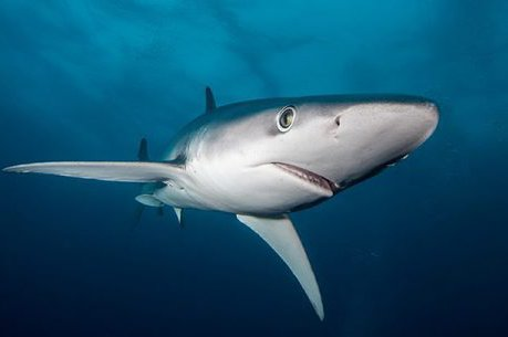 Blue Shark, Prionace glauca
