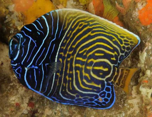 Emperor Angelfish - transition colour phase