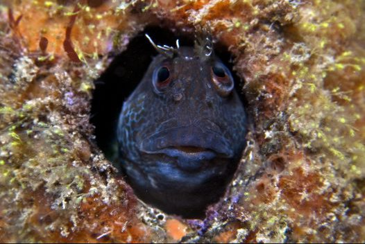 Horned Blenny, Parablennius intermedius