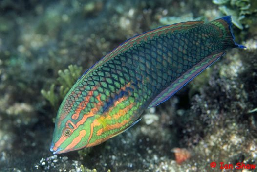 False-eyed Wrasse