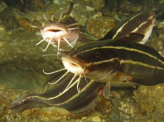 Striped Catfish, Plotosus lineatus
