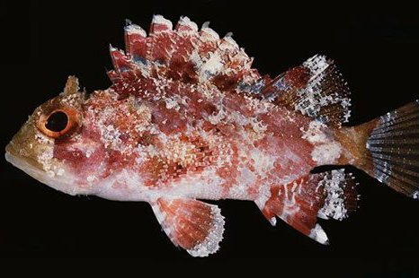 Ocellate Scorpionfish, <i>Parascorpaena mcadamsi</i>