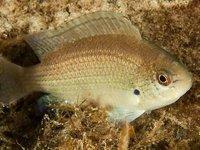 Gulf Damsel, Pristotis obtusirostris