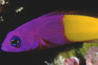 Bicoloured Dottyback, Pictichromis coralensis