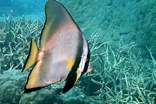 Longfin Batfish, <i>Platax pinnatus</i>