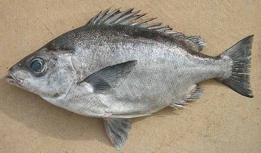 Pelagic Armourhead from Sydney Fish Market