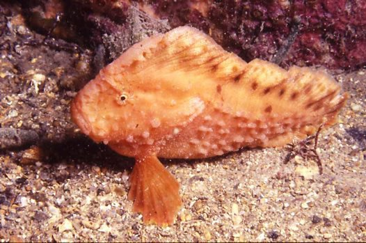 Warty Prowfish