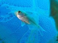 Dusky Driftfish