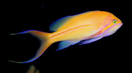 Male Redstripe Basslet, <i>Pseudanthias fasciata</i>