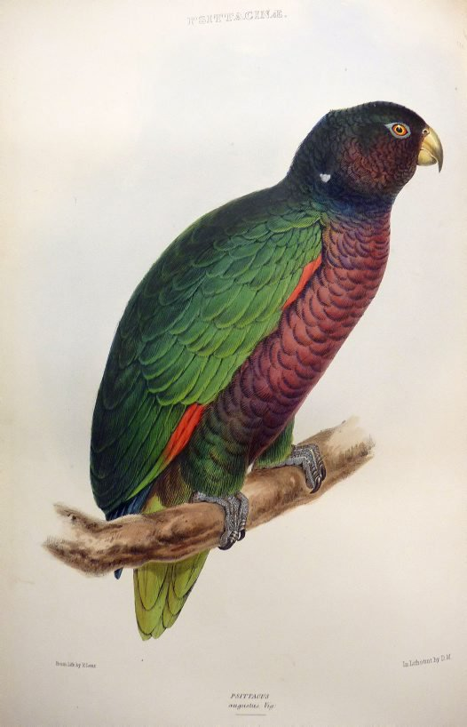 Psittacus augustus by Edward Lear. Published in Genera of Birds by Robert Gray (1849)