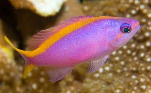 Purple Queen in Kimbe Bay
