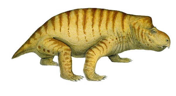 Dicynodont therapsid, Queensland
