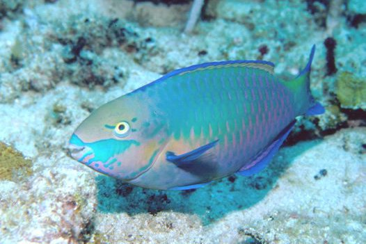 Greenblotch Parrotfish